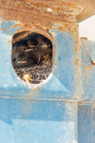 Blackbirds have built their nest in a construction container.