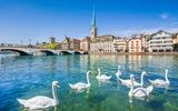 Zürich zwanen voor de oude stad