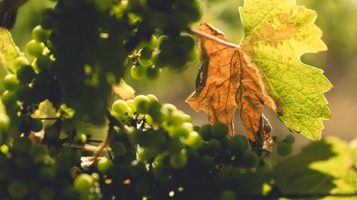 Weintrauben an einem Baum