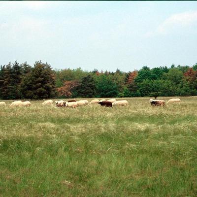 Schaf auf einer Grasweide