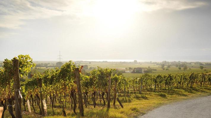 Weinreben in schöner Landschaft