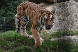 Tiger im Tierpark Haag