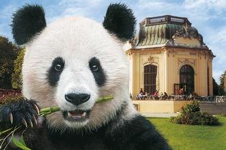 Panda im Tiergarten Schönbrunn in Wien